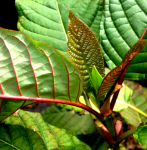 Live kratom plants for sale in florida